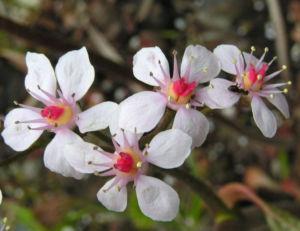 Schildblatt Bluete rose Darmera peltata 05