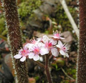 Bild: Schildblatt Bluete rose Darmera peltata