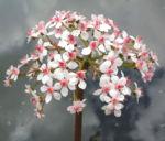 Schildblatt Bluete rose Darmera peltata 15