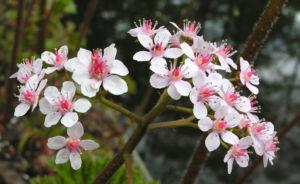 Schildblatt Bluete rose Darmera peltata 20