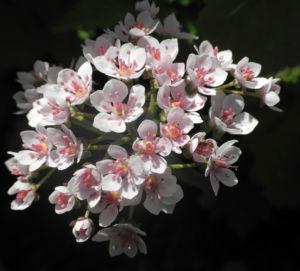Schildblatt Bluete weiß rosa Peltiphyllum peltatum 01