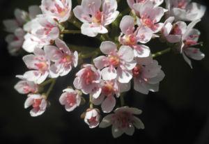 Schildblatt Bluete weiß rosa Peltiphyllum peltatum 02