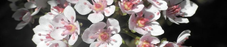 schildblatt-blatt-gruen-peltiphyllum-peltatum