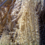 Schilff Samenrispe silbrig Phragmites australis 03