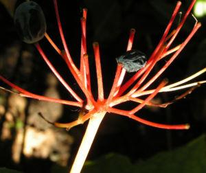 Schirmblatt Beere blau Diphylleia cymosa 01
