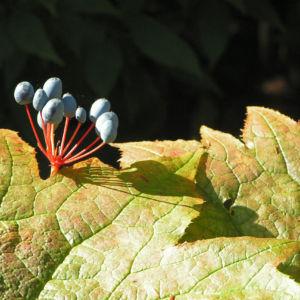 Schirmblatt Beere blau Diphylleia cymosa 03