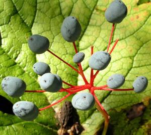 Bild: Schirmblatt Beere blau Diphylleia cymosa