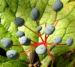 Zurück zum kompletten Bilderset Schirmblatt Beere blau Diphylleia cymosa