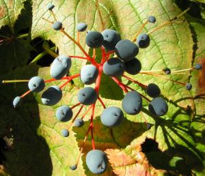Schirmblatt Beere blau Diphylleia cymosa 06