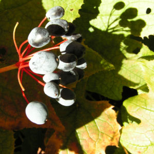 Schirmblatt Beere blau Diphylleia cymosa 07