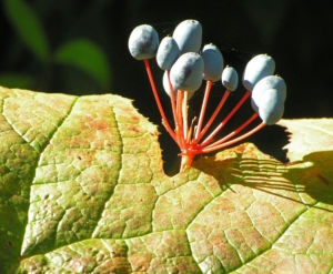 Schirmblatt Beere blau Diphylleia cymosa 08