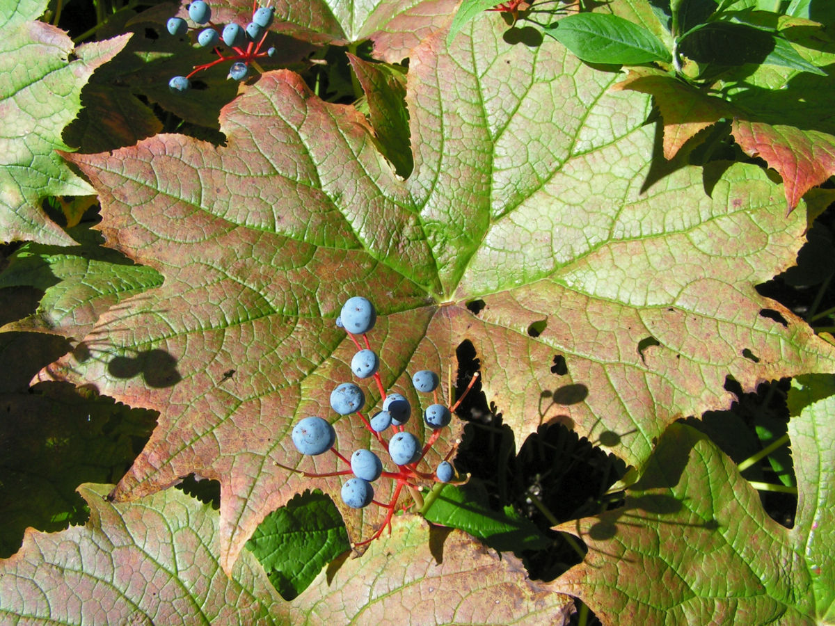 Schirmblatt Beere blau Diphylleia cymosa