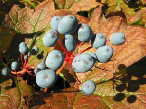 Schirmblatt Beere blau Diphylleia cymosa 10