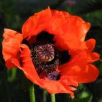 Bild: Schlafmohn Blüte rot Papaver somniferum