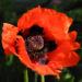Zurück zum kompletten Bilderset Schlafmohn Blüte rot Papaver somniferum