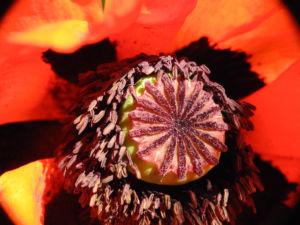 Schlafmohn Bluete rot Papaver somniferum 15