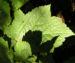 Zurück zum kompletten Bilderset Lanzensilberkerze Blütendolde weiß Cimicifuga rubifolia