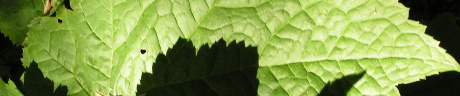 lanzensilberkerze-bluetendolde-weiss-cimicifuga-rubifolia