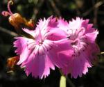 Schlanke Nelke Bluete pink Dianthus gracilis 01
