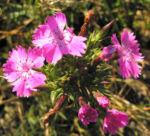 Schlanke Nelke Bluete pink Dianthus gracilis 02