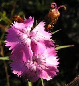 Schlanke Nelke Bluete pink Dianthus gracilis 03