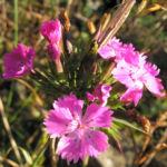 Schlanke Nelke Bluete pink Dianthus gracilis 04