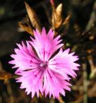 Schlanke Nelke Bluete pink Dianthus gracilis 05