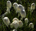 Schlankes Wollgras Bluete weiss Eriophorum gracile 05