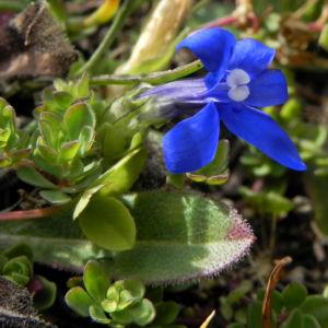 Schlauch Enzian Bluete blau Gentiana utriculosa 03