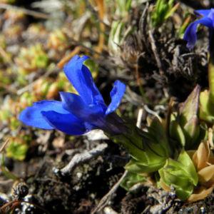 Bild: Schlauch Enzian Bluete blau Gentiana utriculosa