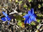 Schlauch Enzian Bluete blau Gentiana utriculosa 09