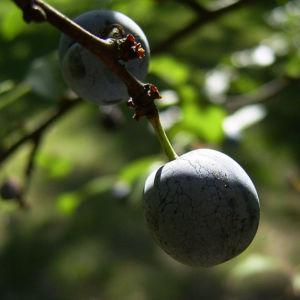 Schlehe Frucht Prunus spinosa 05