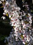 Schlehe Schwarzdorn Bluete weiss Prunus spinosa 01