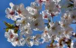 Schlehe Schwarzdorn Bluete weiss Prunus spinosa 02