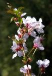 Schlehe Schwarzdorn Bluete weiss Prunus spinosa 03