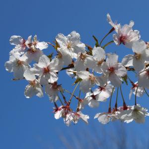 Schlehe Schwarzdorn Bluete weiss Prunus spinosa 04