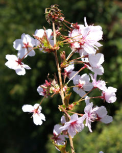 Schlehe Schwarzdorn Bluete weiss Prunus spinosa 05