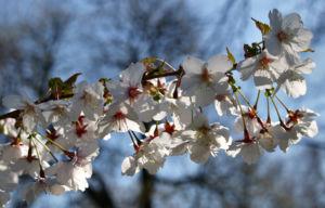 Schlehe Schwarzdorn Bluete weiss Prunus spinosa 06