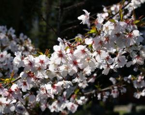 Schlehe Schwarzdorn Bluete weiss Prunus spinosa 07