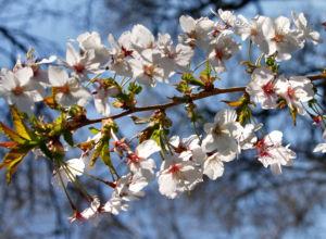 Schlehe Schwarzdorn Bluete weiss Prunus spinosa 08