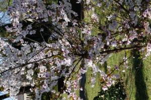 Schlehe Schwarzdorn Bluete weiss Prunus spinosa 09