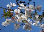 Schlehe Schwarzdorn Bluete weiss Prunus spinosa 10