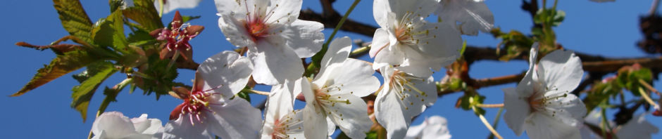 schlehdorn-bluete-weiss-prunus-spinosa