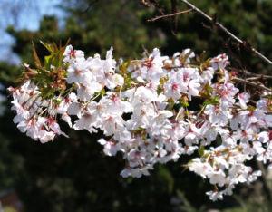 Schlehe Schwarzdorn Bluete weiss Prunus spinosa 11