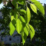 Schlehe Schwarzdorn Bluete Prunus spinosa 02