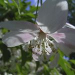 Schlehe Schwarzdorn Bluete Prunus spinosa 03