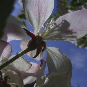 Schlehe Schwarzdorn Bluete Prunus spinosa 04