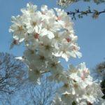 Schlehe Prunus spinosa 31