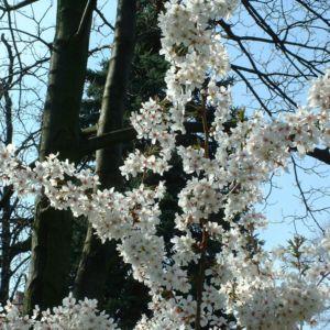 Schlehe Prunus spinosa 32