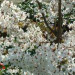 Schlehe Prunus spinosa 33
